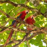 Szkarłatna ara, papuga obrazy stock