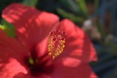 Szkarłatny kwiat od Crete zdjęcie stock