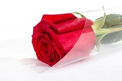 Szkarłat, czerwieni róża zdjęcie stock