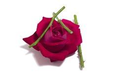 Szkarłat róża pączka Fotografia Royalty Free