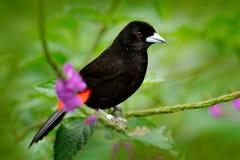 Szkarłat Tanager, Ramphocelus passerinii, egzotyczna zwrotnik czerwień i czerń pieśniowy ptak, tworzy Costa Rica, w zielonym laso Zdjęcie Royalty Free