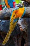 Szkarłatna ara obrazy stock