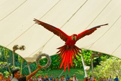 Szkarłatna ara lata przez obręcza zdjęcie royalty free