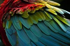 Szkarłatna ara upierza zbliżenie Zdjęcia Royalty Free