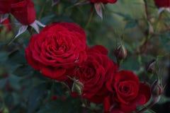 Szkarłatna czerwieni róża póżno przy nocą, krzak roślina obrazy royalty free