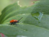 Szkarłatna lelui ściga, czerwona lelui ściga lub leluja liścia ściga, fotografia royalty free