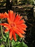 Szkarłatne Gerbera stokrotki w ogródzie Obraz Royalty Free