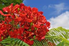 Szkarłatni kwiaty śródziemnomorska akacja obraz stock