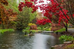 Szkarłatny czerwony Japoński klon nad stawem przy Gibbs ogródami w Gruzja w spadku waterlily fotografia royalty free