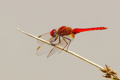 Szkarłatny Dragonfly, Crocothemis erythraea zdjęcia stock