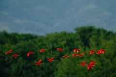 Szkarłatny ibis, Eudocimus ruber, egzotyczny czerwony ptak, natury siedlisko, ptasi koloni latanie nad drzewny forerst, Caroni ba obraz stock