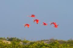 Szkarłatny ibis od Lencois Maranhenses parka narodowego, Brazylia obraz stock