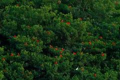 Szkarłatny ibisa, Eudocimus ruber, egzotyczny czerwony ptak, natury siedlisko, ptasi koloni obsiadanie na drzewie, Caroni bagno,  zdjęcia stock
