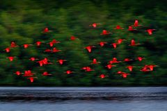 Szkarłatny ibisa, Eudocimus ruber, egzotyczny czerwony ptak, natury siedlisko, ptasia kolonia lata dalej nad rzeka, Caroni bagno, obrazy royalty free