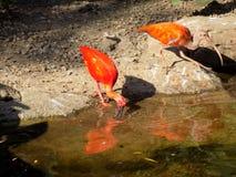 Szkarłatny ibisa pić Fotografia Royalty Free