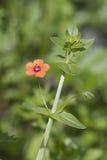 Szkarłatny Kurzyślep (Anagallis arvensis) Obrazy Stock