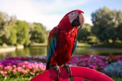 Szkarłatna ary papuga Fotografia Royalty Free