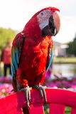 Szkarłatna ary papuga zdjęcia royalty free