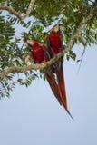 Szkarłatne ary w drzewie Fotografia Royalty Free