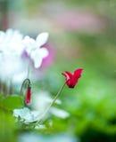 Szkarłatni cyklameny kwitnie w ogródzie Zdjęcie Stock