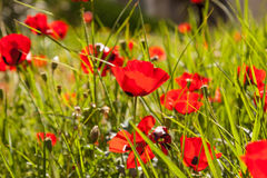 Szkarłatni maczki na zielonej trawie Obrazy Royalty Free