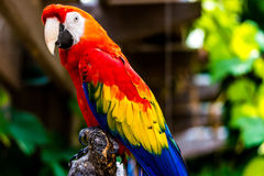 Szkarłatny ary papugi ptak Zdjęcia Stock