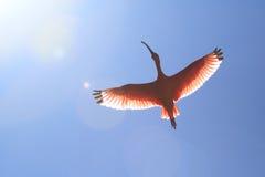 Szkarłatny ibis Obraz Royalty Free