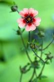 Szkarłatny kwiat Obraz Royalty Free