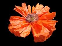 Szkarłatny makowy kwiat na czarnym tle Zdjęcia Royalty Free