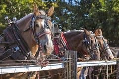 Szkiców Konie Zdjęcia Stock