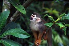 Szkic małpy? Zdjęcia Royalty Free