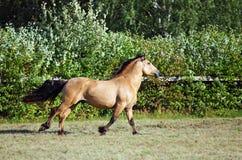 Szkicu konia ogiera prędkości cwałowanie w wieczór stadniny gospodarstwie rolnym Obrazy Stock