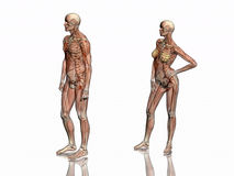szkielet transparant mięsne anatomie Obraz Stock