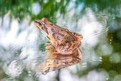 Szklana żaba Zdjęcie Stock