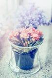 Szklany kwiatu garnek z uroczymi menchiami kwitnie na windowsill fotografia royalty free