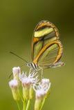 Szklany oskrzydlony motyl na purpurach kwitnie z zielonym tłem fotografia royalty free