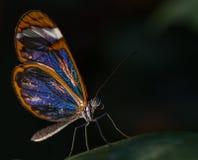 Szklany Oskrzydlony Motyli Greta oto Fotografia Royalty Free
