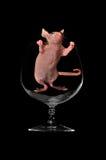 szklany szczur siedzi wino Zdjęcie Royalty Free