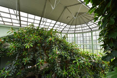 Szklarnia, ficus, ogród botaniczny fotografia royalty free