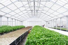 Szklarnia Uprawia ziemię Organicznie jarzynowego rolnictwa techno Fotografia Stock