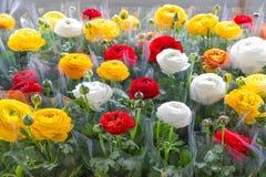 Szklarnia z kolorowymi kwiatów jaskierami zawijającymi w klingeryt folii fotografia royalty free