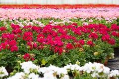 Szklarnia z kwitnącymi bodziszków kwiatami Obraz Royalty Free