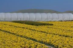 szklarnia zasadza kolor żółty Zdjęcia Stock