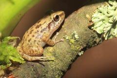 Szklarniana żaba Zdjęcia Stock