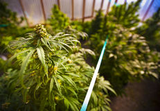 szklarniana marihuana Zdjęcie Royalty Free