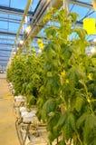 szklarniane rośliny Zdjęcia Royalty Free