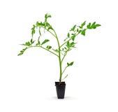 szklarnianej rośliny pojedynczy pomidor fotografia stock