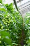 Szklarniani pomidory Obrazy Royalty Free