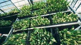 Szklarniani zbiorniki wypełniający z tulipanami w kwiacie zdjęcie wideo