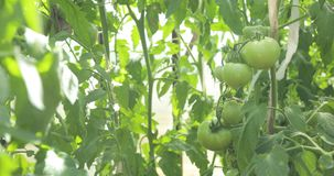 Szklarniany pomidorowy chaszcze z zielonymi pomidorami w nim zdjęcie wideo